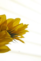 sunflower #3 (maria_logak) Tags: macro nikon sunflower macrolens