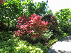 Spring at the Arboretum - 2016 (gttexas) Tags: flower dallas texas tx arboretum japanesemaple 2016