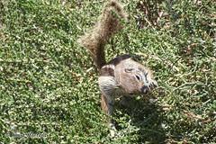 Buschhrnchen , NGID1891144509 (naturgucker.de) Tags: jandia naturguckerde calmutmartens atlashrnchenatlantoxerusgetulusr ngid1891144509