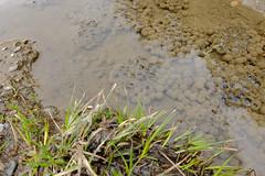 DSCF6384-2 Waiting (jorgeaq) Tags: mountain frog huevos eggs montaa pyrnes pirineos ranas valdaran metamorfosis renacuajos valdevarrados fujifilmxq1