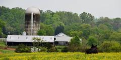Queen of The Hill (creepingvinesimages) Tags: green fence outdoors virginia cow nikon cattle farm hill central silos topaz autofocus greenecounty hff heifer d7000 pse14