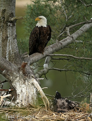 At Home in the Nest (tkfranzen) Tags: spring eagle baldeagle eaglesnest animalplanet raptors haliaeetusleucocephalus tnclivenature