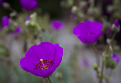 Glowing with Color: Purple Rock Purslane (Life_After_Death - Shannon Day) Tags: life pink flowers flower color detail macro art floral rock electric canon garden botanical photography eos death petals succulent soft day purple blossom gardening petal shannon drought bloom after wildflowers dslr delicate botany wildflower canondslr canoneos heavenly intricate tolerant purslane calandrinia lifeafterdeath 50d rockpurslane shannonday canoneos50d eosdslr canoneos50ddslr lifeafterdeathstudios lifeafterdeathphotography shannondayphotography shannondaylifeafterdeath lifeafterdeathstudiosartandphotography shannondayartandphotography