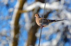 Mourning Dove (ctberney) Tags: bird wire mourningdove wintertime zenaidamacroura yesnowitsspringsoimtryingtodosomespringcleaning