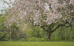 Appleblossom (anek07) Tags: flowers flower green grass fence spring bush nikon saturday blomma fragile busch springtime appletree appleblossom grn appleblossoms buskar grs buske skir ppeltrd ppelblom busches staktet annaekman