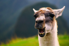 What's up? (ricdovalle) Tags: smile animal 50mm funny sony llama sorriso alpha engraado lhama a6000 sel50f18 ilce6000