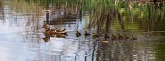 Follow me (Alan McCollough) Tags: birds oiseaux domaine maizeret