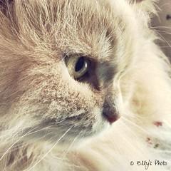 (Elly212) Tags: verde green eye cat cream gato katze largo gatto crema occhio pelo gig oyo lungo