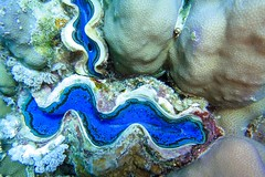 Blue Lips - Underwater Shell (fxdx) Tags: blue lips shell clam underwater scuba diving el quseir