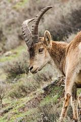 Spanish ibex - Capra pyrenaica - Spaanse steenbok (Jens Goos) Tags: nature animals canon spain outdoor sigma goat andalucia granada sierranevada mammals ibex