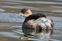 Little Grebe (roychurchill (local patch birder)) Tags: bird birds wildlife devon grebe northdevon littlegrebe