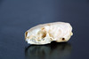 Mustela erminea (La fille renne) Tags: skeleton skull curio crâne hermine mustelaerminea osteology