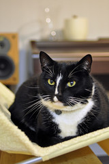 Ziggy & new cat-bed (hddod) Tags: cat mycat ziggy 2011 2011yip