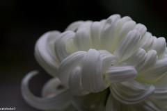 _MG_9617 (catoledo) Tags: flowers snow macro fall monochrome moms longwoodgardens winterstorm 2011 chrysanthems
