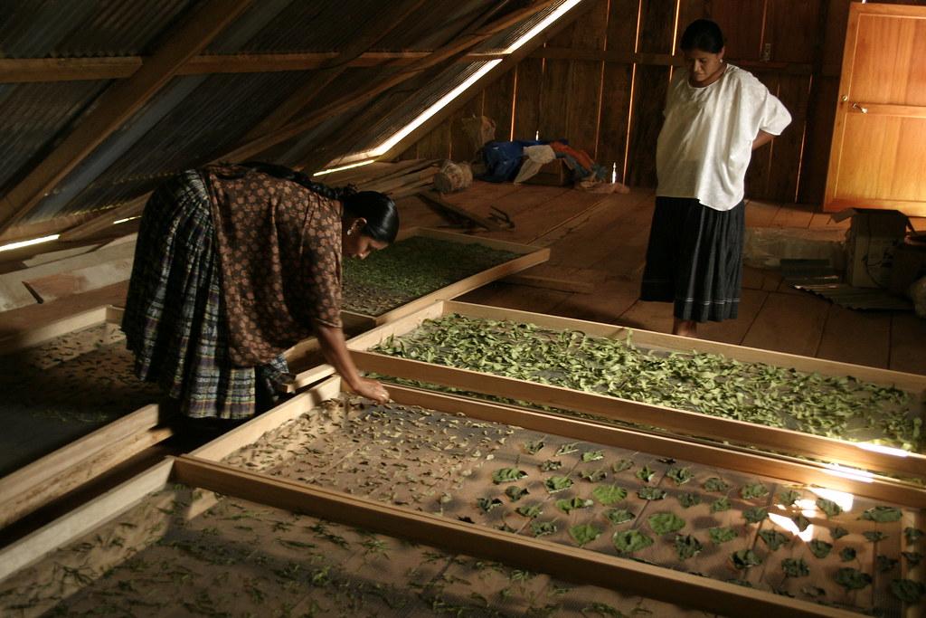 Sechage des feuilles de plantes medicinales