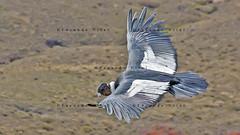 Cndor Andino (Vultur gryphus) / Bariloche (Facu551) Tags: patagonia argentina condor bariloche rionegro sancarlosdebariloche vulturgryphus cndorandino facundovital