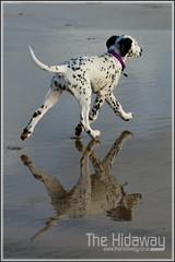 Walk this way - Explore #191  30/11/11 (Simon Bone Photography) Tags: blackandwhite dog pet girl spots spotty dalmatian jemima k9 wwwthehidawaycouk canoneos7d canonef24105mmlf4