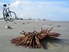 Sea Urchin, Low Tide Bike Ride Amelia Island