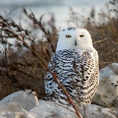 Snowy Owl 3806-11 (StacyN - MichiganMoments) Tags: winter bird owl snowowl avian muskegon snowyowl stacyniedzwiecki