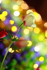 Light decorated flower (Takashi(aes256)) Tags: light flower night bokeh トナカイ showakinenpark 昭和記念公園 夜 イルミネーション ボケ lightdecoration canoneos7d doubleniceshot canonef100mmf28lmacroisusm