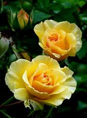 Pale orange roses (Eileen Bora) Tags: roses whisky paleorange