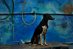 IND4450 Le chien bleu - Inde Bundi Rajasthan (Persodan) Tags: voyage trip travel blue portrait people india color colors face look portraits travels nikon faces retrato bleu belle d200 inde regard voyages baroudeur beaux rajasthani 2011 incredibleindia fixfocal 55micronikkor danielpapineau barouder danielpapineauallrightreserved