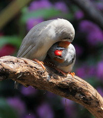 Whispering and Cuddling..... (johnshlau) Tags: canada love nature birds vancouver whispering ngc cuddling queenelizabethpark zebrafinch bloedelconservatory tropicalbirds mygearandme mygearandmepremium mygearandmebronze mygearandmesilver mygearandmegold rememberthatmomentlevel1 rememberthatmomentlevel2 rememberthatmomentlevel3