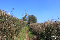 Cut hedges dead tree. (ttwff) Tags: uk blue camping trees wild england sky west tree green way walking dead walks britain hiking cut path walk trails hike trail backpacking hedge paths tramping macmillan hikes hedges