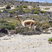 Una vigogna solitaria nella Reserva Salinas y Aguada Blancas