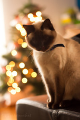 Olivia os desea Feliz Navidad!! (Os Tartarouchos) Tags: cat 50mm luces bokeh christmastree gato gata 18 rboldenavidad bokehlights