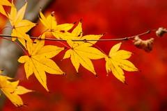)/Eikan-dou temple (nobuflickr) Tags: nature japan kyoto autumncolors           eikandoutemple