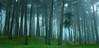 Presidio Fog (gcquinn) Tags: sanfrancisco trees fog composition mood quiet searchthebest grove geoff explore quinn mystical geoffrey presidio parkpic doubledragonaward saariysqualitypictures parcpic esenciadelanaturaleza