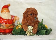 Feliz Navidad ... (.... belargcastel ....) Tags: espaa canon puppy navidad spain perro galicia cachorro caniche eos60 belargcastel