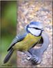 BLUE TIT (Shaun's Photographic World.) Tags: birds shaund