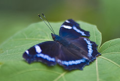 Blue Admiral In Autumn (aeschylus18917) Tags: park flowers macro nature japan butterfly insect nikon lepidoptera   koen  butterfy nerimaku insecta lapislazuli nymphalidae kaniska   shakuji shakujikoen nymphalinae kaniskacanace   200400mm 200400mmf4gvr d700 tokyo nymphalini  shakujipark  nikond700  ruritateha danielruyle blueadmiralbutterfly aeschylus18917 danruyle druyle   shakujiiken 200400mmf40gvr