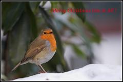 The Christmas Robin... (Phil Dodd CPAGB BPE1*) Tags: winter robin lakedistrict merrychristmas dapa canon40d