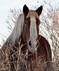 Why The Long Face? (pam's pics-) Tags: ranch horse colorado farm co belgian equine workhorse bouldercounty longmontcolorado pammorris pamspics nikond5000