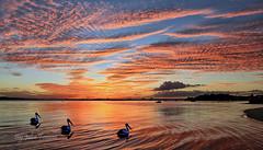 Heading Home ........ (John Finnan) Tags: sunset pelicans australia qld bribieis johnfinnan