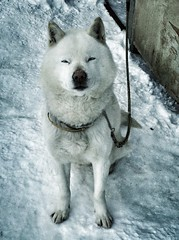 A Smile from the North East (My name is Gon.) (moaan) Tags: dog snow digital utata aomori watchdog gon   iphone 2011 yagen explored iphone4 ainudog