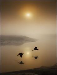 Morning Duets (adrians_art) Tags: mist water birds silhouette fog sunrise reflections reeds wings flight riverbank grayheron