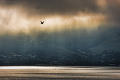 Harbour Gull 2 (Ian@NZFlickr) Tags: morning light bravo nz otago dunedin