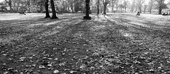 _MG_7286R Scattered, Enlightenshade, Jon Perry, 19-11-11 (Jon Perry - Enlightenshade) Tags: park autumn bw sun distortion london leaves wideangle backlit chiswick w4 actongreen jonperry 191111 20111119 enlightenshade