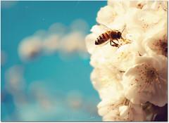Prove tecniche di primavera (in eva vae) Tags: blue sky white flower macro vintage spring nikon bee inevavae flickrstruereflection1