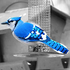 Blue Jay (wplynn) Tags: blue bird wings jay turquoise indianapolis feathers feather indiana avian jewel sapphire jewell cyanocitta corvidae cristata