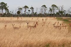 Camouflage (flutterbye216) Tags: park field grass canon florida deer blinkagain challengeclubchampion