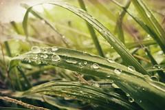 Grass and Raindrops II (Child of Danu) Tags: macro green nature water grass rain droplets drops textured