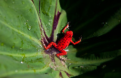 Strawberry Poison Dart Frog  - Red Frog Beach - Bastimentos - Bocas del Toro, Panama (ChrisGoldNY) Tags: travel red wild green latinamerica nature wet animals drops strawberry colorful forsale environmental spots viajes jungle posters frogs tropical caribbean spotted panama bocasdeltoro redfrogbeach endangered poison amphibians creatures rare bookcovers centralamerica albumcovers poisonous nationalgeographic caribe gridskipper bocas bastimentos junque dartfrog jaunted americacentral achallengeforyou thechallengefactory chrisgoldny chrisgoldberg newyorktimesthe45placestogoin2012 chrisgold chrisgoldphotos