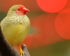The Little Star (J Bespoy Photography) Tags: red white canada cute green bird face vancouver star bc sweet britishcolumbia small spots finch captive bloedelconservatory potofgold tc14eii coth allrightsreserved specanimal anawesomeshot avianexcellence coth5 nikkor70200f28vrii blinkagain