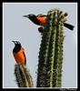 A Pair of brightly coloured Troupials. (dralun10) Tags: aruba arikoknationalpark caribbeanbirds troupials mygearandme mygearandmepremium mygearandmebronze mygearandmesilver bbng allofnatureswildlifelevel1 allofnatureswildlifelevel2 allofnatureswildlifelevel3 allofnatureswildlifelevel4 allofnatureswildlifelevel5 allofnatureswildlifelevel8 allofnatureswildlifelevel6 allofnatureswildlifelevel7 allofnatureswildlifelevel9