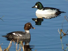 A Couple Of Commoners (ebirdman) Tags: male female common goldeneye commongoldeneye bucephalaclangula bucephala clangula
